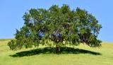 Tree in Mount Diablo State Park Walnut Creek 292