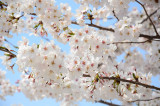2016 Cherry Blossom in Seoul