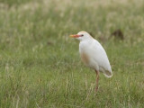 bubulcus_ibis