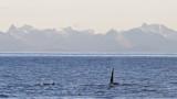 orca lofoten.jpg