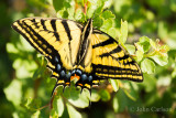 Swallowtail-9193.jpg