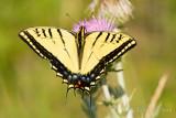 Swallowtail-9259.jpg
