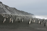 chinstrap penguin-4962.jpg