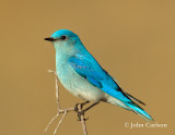 Mountain Bluebird-1413.jpg