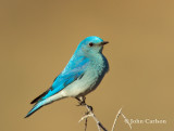 Mountain Bluebird-1424.jpg