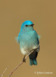 Mountain Bluebird-1458.jpg