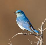 Mountain Bluebird-1466.jpg