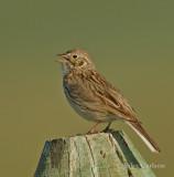 Vesper Sparrow-3143.jpg