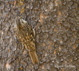 brown creeper-3682.jpg