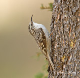 brown creeper-3708.jpg