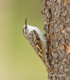 brown creeper-3718.jpg
