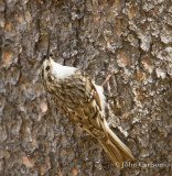 brown creeper-3743.jpg