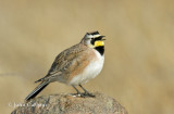 horned lark-0160.jpg