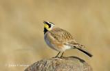 horned lark-0185.jpg