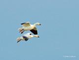 snow goose-8447.jpg