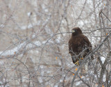 red-tailed hawk-6472.jpg