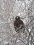 red-tailed hawk-6473.jpg