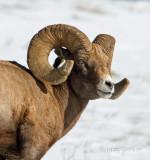 bighorn sheep-4766.jpg