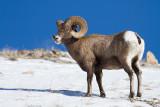 Bighorn Sheep-4882.jpg