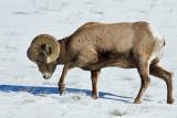 Bighorn Sheep-4785.jpg