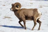 Bighorn Sheep-4812.jpg