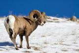 Bighorn Sheep-4852.jpg