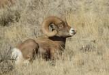 bighorn sheep-9227.jpg