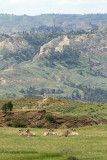 Bighorn Sheep-5537.jpg