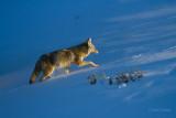 Coyote-9052.jpg