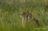 white-tailed jackrabbit-5451.jpg