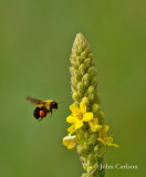 bumble bee-7866.jpg