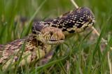 Bull Snake_2311.jpg