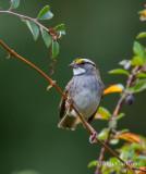white-throated sparrow-6658.jpg