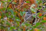 White-throated sparrow-6578.jpg