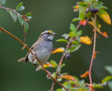 white-throated sparrow-6626.jpg