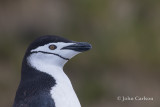 chinstrap penguin-1630.jpg