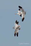 snow goose-6152.jpg