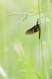 2N9B8771 mayfly