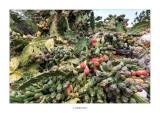 Opuntia ficus-indica · Figues de pala