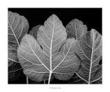 18/07/2016 · Ficus carica