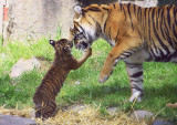 Tiger Cub, 10 weeks old, at San Francisco Zoo #sftigercub