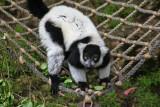 Lemur. #0383