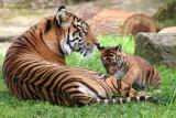 San Francisco Zoo's Tiger Cub, Jillian, and mom, May 7, 2013 #sftigercub