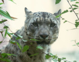 Snow leopard, behind plexiglass. #1725
