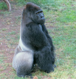 Oscar Jonesy, Hasani's father. Silverback & Leader of the troop. #2649