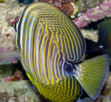 Desjardin Tang (Red Sea) (Zebrasoma veliferum)