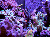 Field of SPS Corals