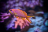 Pink Anthias