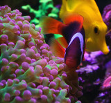 Tomato Clownfish & Yellow Tang