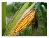 A Corny Picture